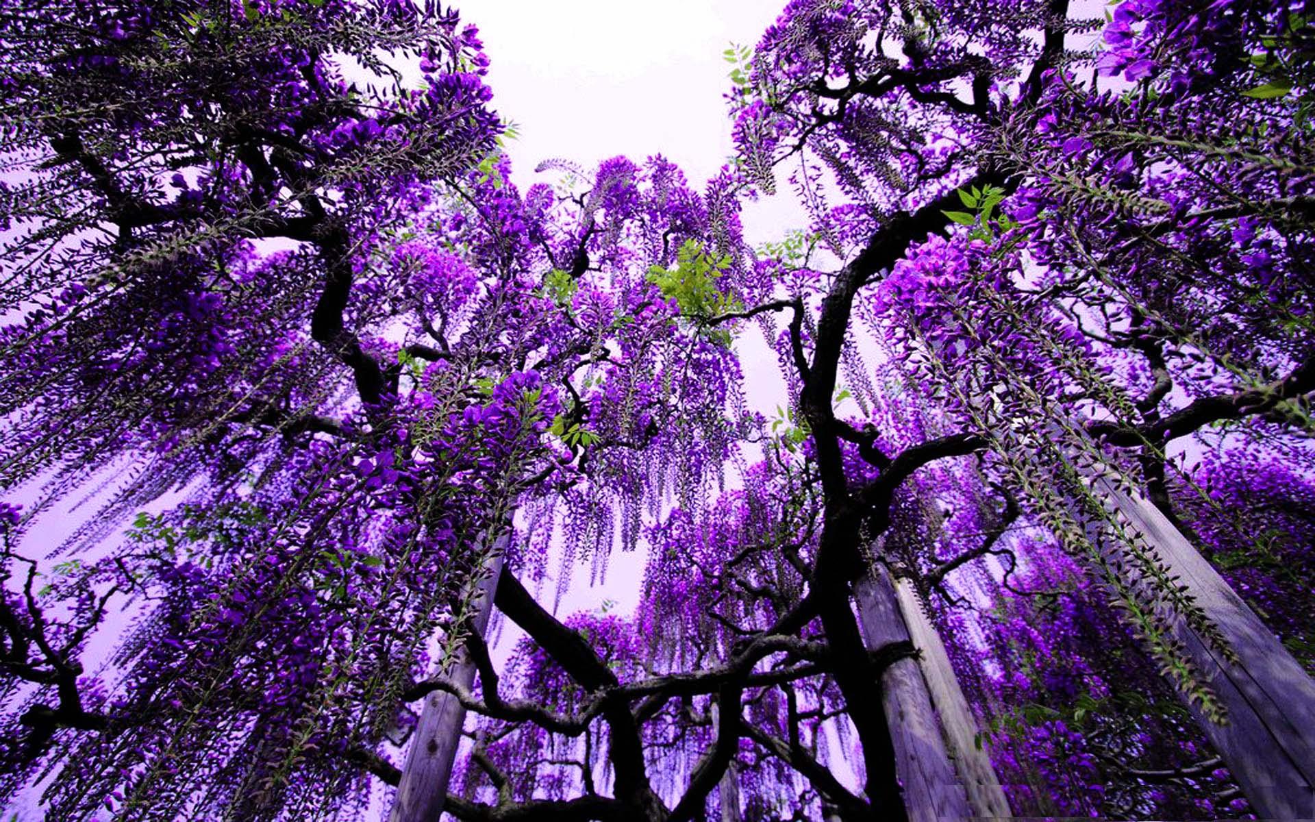 Нежная красота цветущих глициний